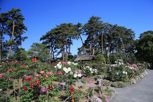 須賀川牡丹園(有料開園開始)